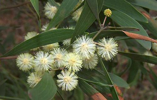 Acacia melanoxylon Australian Blackwood seeds