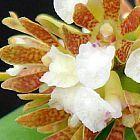 Acampe ochracea  cемян