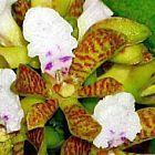 Acampe papillosa orchidea semi