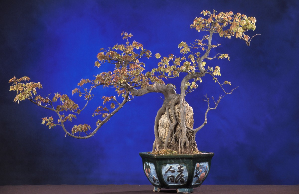 Acer buergerianum Trident maple seeds