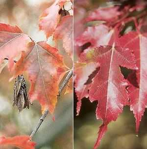 Acer ginnala Amur maple seeds