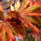Acer japonicum aconitifolium  semillas