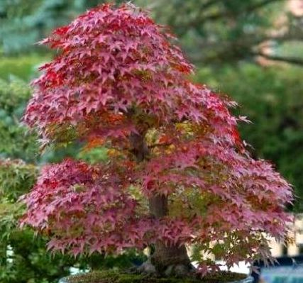 Acer tartaricum Tatar maple - Tatarian maple - Bonsai seeds