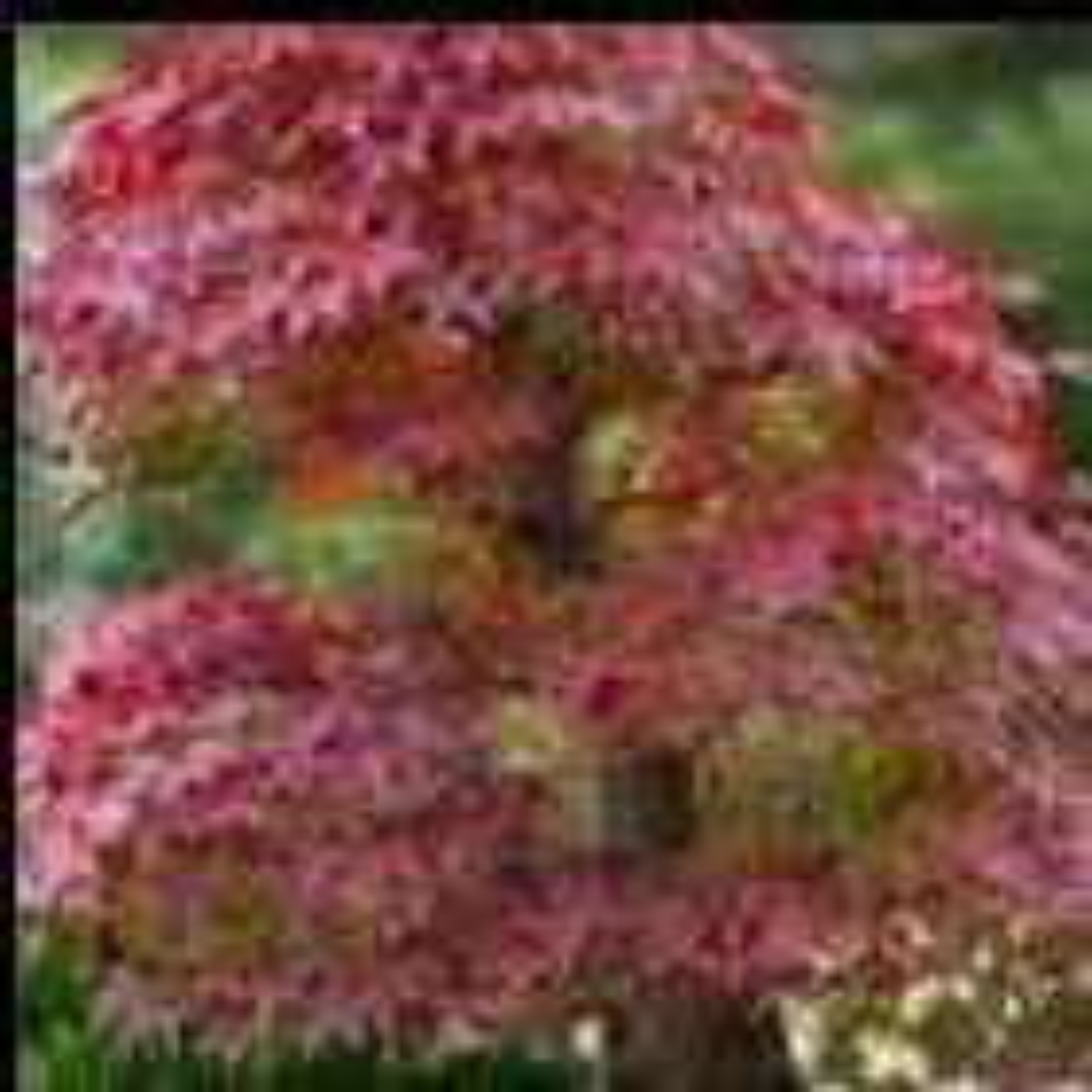 Acer tartaricum  semi