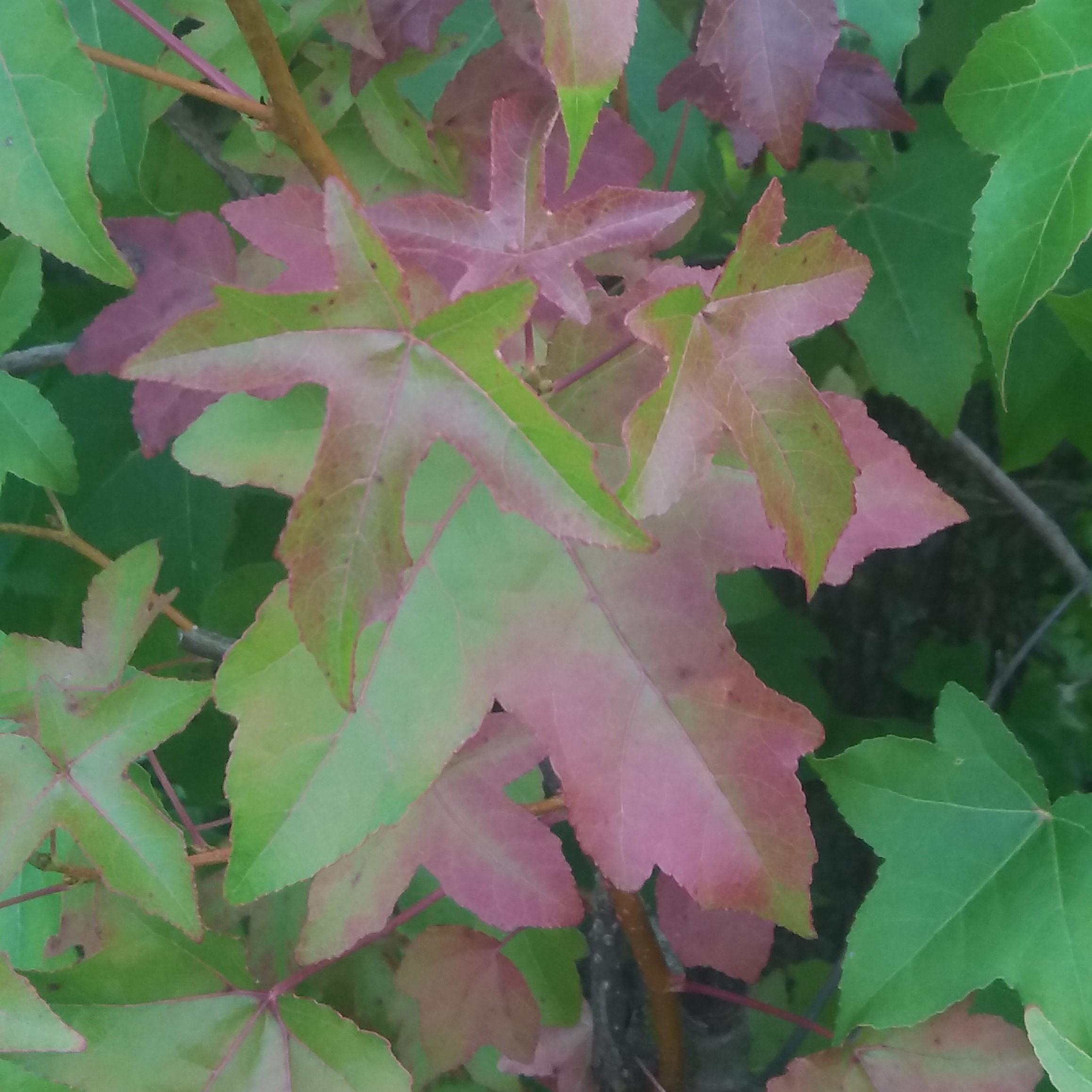Acer tartaricum Feuer-Ahorn - Amur-Ahorn - Bonsai Samen