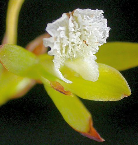 Acrolophia capensis orchid - orchids seeds