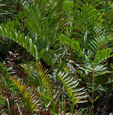 Acrostichum aureum Golden Leather Fern - Mangrove Fern seeds