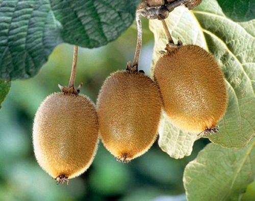 Actinida delisiosa kiwi - kiwifruit seeds