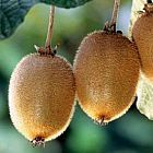 Actinida delisiosa kiwi graines