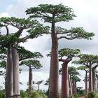 Adansonia perrieri Le Baobab de Perrier graines