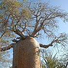 Adansonia rubrostipa Baobab - ?rbol botella semillas