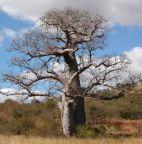 Adansonia za afrikanischer Affenbrotbaum - Baobab Samen