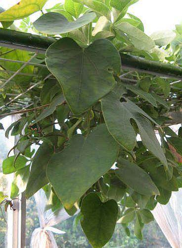 Adenia dadoseipala caudiciform seeds