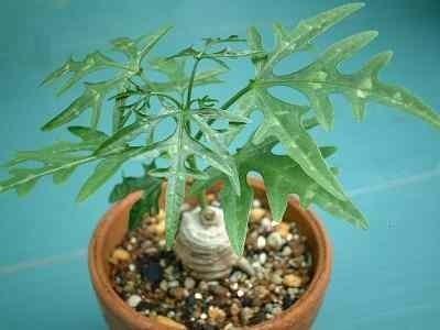 Adenia digitata caudiciform seeds