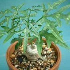Adenia digitata  semillas