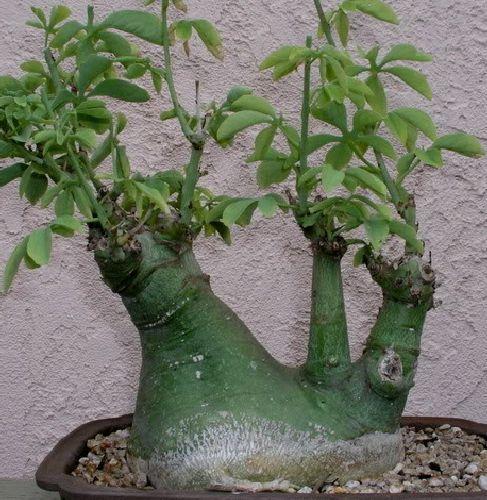 Adenia glauca caudiciform seeds