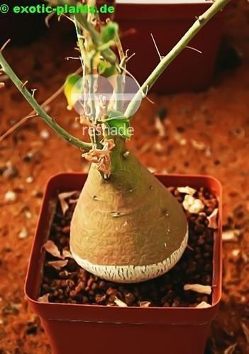 Adenia spinosa caudiciform seeds
