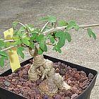 Adenia subsessilifolia caduciformes semillas