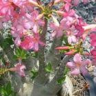 Adenium arabicum Pankorn  semi