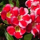 Adenium arabicum Red Hybrids Mix  semi