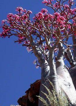 Adenium black somalense var. somalense Desert Rose Somalense seeds