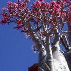 Adenium black somalense var. somalense Rose du D?sert Somalense - Faux Baobab graines