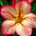 Adenium obesum 3171 Rose du d?sert - Faux baobab graines