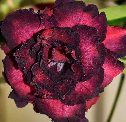 Adenium obesum Black Bird Karoo rose - desert rose - impala lily seeds