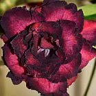 Adenium obesum Black Bird Rose du d?sert - Faux baobab graines