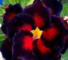Adenium obesum Black Butterfly Karoo rose - Desert rose - Impala lily Black Butterfly seeds