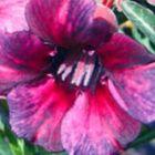Adenium obesum Blueberry W?stenrose Samen
