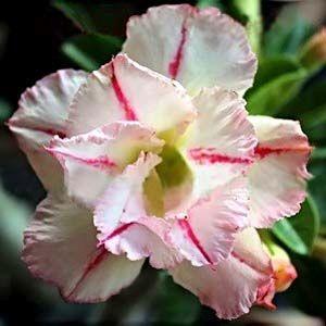 Adenium obesum Bonanza Karoo rose - desert rose - impala lily seeds