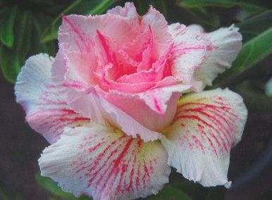 Adenium obesum Curly Lace Karoo rose - Desert rose - Impala lily Curly Lace seeds