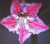 Adenium obesum Dance of Butterfly Rose du d?sert - Faux baobab graines