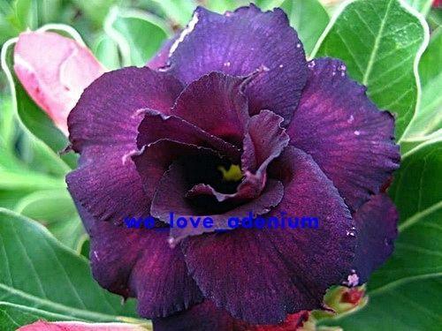Adenium obesum Deep-purple Doxzon Karoo rose - desert rose - impala lily seeds