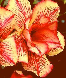 Adenium obesum Double Maroon King Karoo rose - Desert rose - Impala lily Double Maroon King seeds