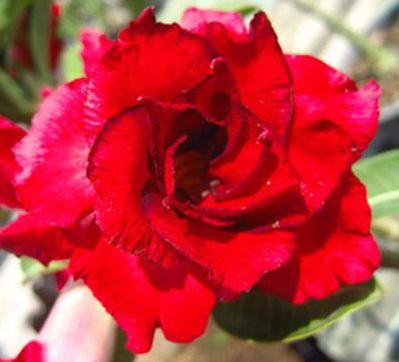 Adenium obesum Doungdee Karoo rose - desert rose - impala lily seeds