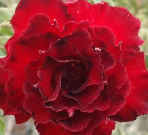 Adenium obesum Fire Stone Karoo rose - Desert rose - Impala lily Fire Stone seeds