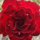 Adenium obesum Fire Stone Rose du d?sert - Faux baobab Fire Stone graines