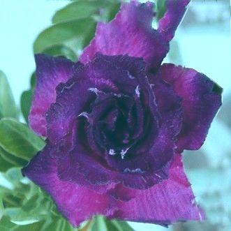 Adenium obesum King Blue Velvet Karoo rose - Desert rose - Impala lily King Blue Velvet seeds