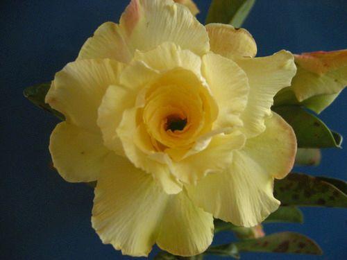 Adenium obesum Luangpaumsap Karoo rose - desert rose - impala lily seeds