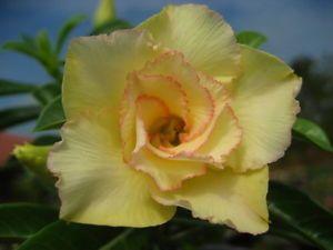 Adenium obesum Maithong Karoo rose - desert rose - impala lily seeds