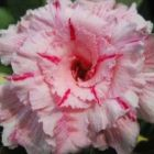 Adenium obesum Mary Poppins Rose du d?sert - Faux baobab Mary Poppins graines
