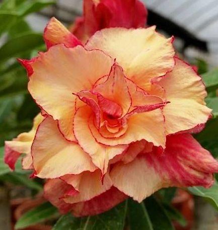 Adenium obesum Morning Star Karoo rose - Desert rose - Impala lily Morning Star seeds