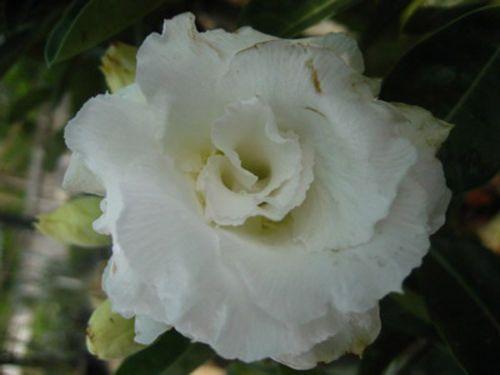 Adenium obesum Nang-Faah Karoo rose - desert rose - impala lily seeds