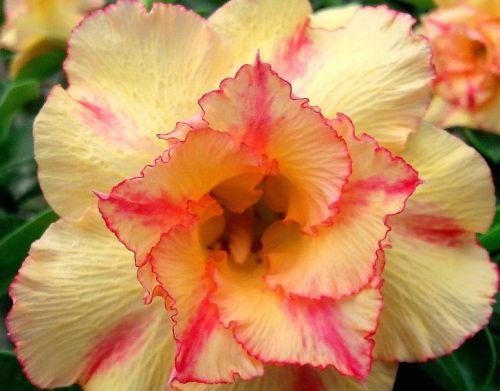 Adenium obesum Orange V Karoo rose - desert rose - impala lily seeds