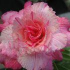 Adenium obesum Pinkpanter  semillas