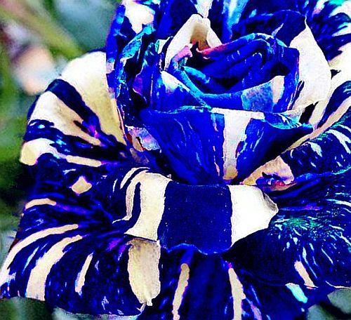 Adenium obesum Rare Blue Karoo rose - desert rose - impala lily seeds