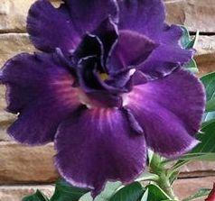 Adenium obesum Royal Purple Karoo rose - Desert rose - Impala lily Royal Purple seeds