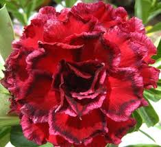 Adenium obesum Sawan7 Karoo rose - desert rose - impala lily seeds
